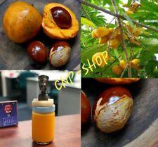 Egg Fruit seeds / Egg Plant (Pouteria campechiana) / Canistel planting seeds