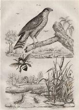 Epervier (Sparrowhawk). Ephémère (Mayfly). Epicharis (apid bee) 1834 old print