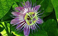 Foetida Lace Bud Passion Vine Plant Purple Blue Flower Attracts Butterflies