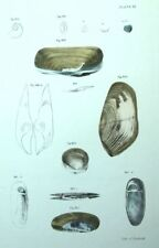 Histoire naturelle Fruits de mer Coquilles Moules - Lithographie XIXème