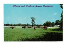 USA - Mares and Foals in Scenic Kentucky - Vintage Postcard