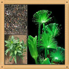 Amazing 20 emerald fluorescent  seeds night light emitting plants *Larger Pack