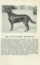 Flat Coated Retriever - 1931 Vintage Dog Print - Breed Description - Matted