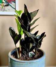 Raven ZZ (Zamioculas Zamiifolia) Plant - Rare