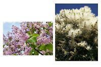 exotisch Garten Pflanze Samen winterhart Sämereien Exot Baum BLAUGLOCKE+TEEBAUM