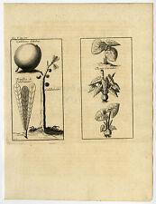 Antique Print-CALABASH TREE-XANTHOSOMA-Labat-1724