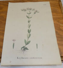 1832 Medicinal Plant COLOR Print///COMMON GILT HERB, or ERYTHRAEA CENTAURIUM