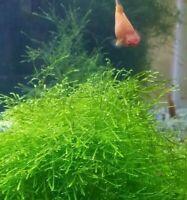 Java Moss Beginner Aquarium Plant Free return or exchange for 30 days!!!