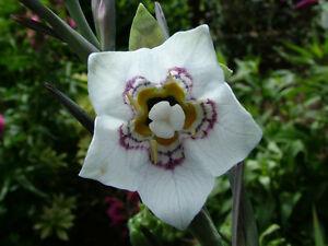 CODONOPSIS CLEMATIDEA - 30 Seeds - Hardy Climber - Asian / Bonnet Bellflower