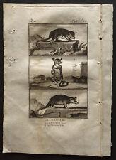 1799 - Buffon - Le marmose, le cayopollin - Gravure zoologie