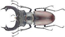 Insect - LUCANIDAE Lucanus cervus cervus - Ukraine - Giant Male 80mm ....!!