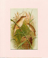 HENRIK GRONVOLD -REED WARBLERS- ANTIQUE CHROMO LITHO  PLATE - MOUNTED (c.1900)