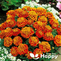 MARIGOLD - HONEYCOMB - 350 seeds - Tagetes patula nana - Double bicolor flower
