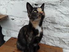 Donate a dinner & treats for Nyla the tortie Rookie - Ceredigion Cat Rescue