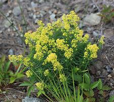 Echtes Labkraut 120 Samen Liebkraut Waldstroh Galium Verum