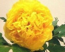 5 POLYPHYLL YELLOW TREE PEONY SEEDS - (Paeonia suffruticosa)