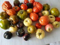 130 Graines de Tomates anciennes/ 130 Seeds Tomatos of your choise