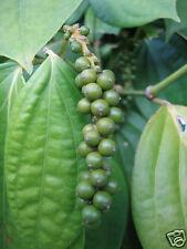 5 graines de POIVRE NOIR à semer(Piper Nigrum)V621 BLACK PEPPER SEEDS SAMEN SEMI
