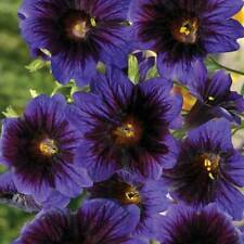 Salpiglossis Sinuata 'Kew Blue'  fleurs bleu-violet au cœur bleu-nuit 25 Graines