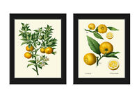Unframed Orange Tree Botanical Wall Art Print Set 2 Antique Fruit Home Decor