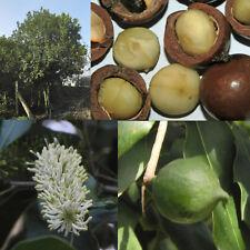 Macadamia integrifolia, Queensland, Smooth Australian Bush, Bauple Nut / 3 seeds