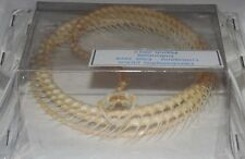 DENDRELAPHIS PICTUS REAL WHOLE COILED SNAKE SKELETON INDONESIA TAXIDERMY