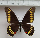 butterfly, Mimoides microdamas female ex Bolivien   nr.582