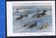 American, White-Winged, and Surf Scoters & Ruddy Duck- 1932 Fuertes Print