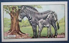 GREVY'S ZEBRA    Superb  Original 1937 Vintage Colour Card  VGC