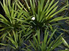 Stratiotes aloides ananas d eau  plante rare  bassin flottant rustique