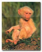 Albino Olive Baboon Baby Monkey Wild Animal Wall Decor Art Print Poster (16x20)