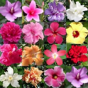 15+ Rose of Sharon Mix Flower Seeds /  Perennial / Hibiscus