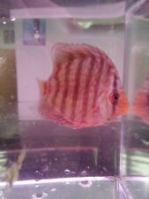 Discus-Live Tropical Fish Red Tourquise