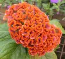 30+ Celosia  Orange Cockscomb Flower Seeds/ Reseeding Annual