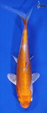 "New listing 4.5"" KIKUSUI Koi live fish standard fin nextdaykoi NDK"