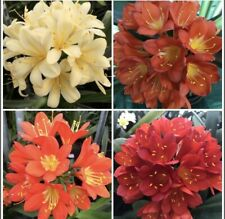 5 x Clivia m. MIXED Young Plants. 1 Year Old. National Collection. House Plant