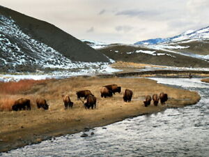 V5535 Yellowstone National Park Bison Nature Landscape WALL POSTER PRINT AU