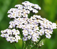 YARROW WHITE Achillea Millefolium - 12,000 Bulk Seeds