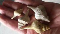 4 Fusus Burdigalensis Fossil Miocene