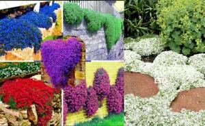 ROCK CRESS CASCADE SEEDS-AUBRIETA CULTORUM HYBRIDA-ROCKERY FLOWER PLANT UK STOCK