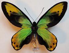 Fantastic Ornithoptera victoriae epiphanes (Aberration) - Solomon islands