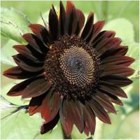 Flower Sunflower Chocolate Garden Lovers Gift - Helianthus Annuus - 15 Seeds