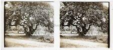 Pose devant un arbre exotique Photo Plaque de verre Stereo Vintage