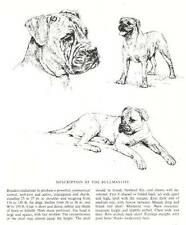 Bullmastiff Sketch - 1963 Vintage Dog Print - Matted