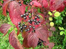 Cornus sanguinea ( 10 seeds/graines )