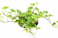 "English Ivy 'Eva' - 4"" Pot - Live House Plant - FREE Care Guide"