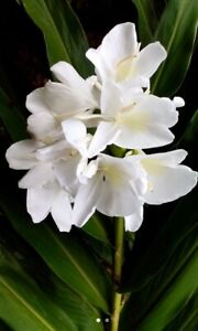 1 White Butterfly Ginger Lily Plant   - No Pot Very Fragrant - Hummingbirds