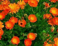 ☺100 graines de soucis orange