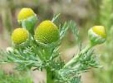 Organic Pineapple weed 50+seeds medicinal, for tea chamomile/pineapple aroma