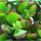 Jade Plant /Money Tree/Crassula Ovata Sacculent (6 Cuttings From this Plants)